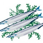 青魚を食べると高血圧だけでなく血栓症の予防にもなる