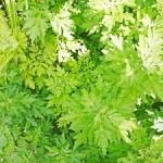 ヨモギ花粉症の時期と症状の特徴・対策・食物アレルギーリスクがある12種類